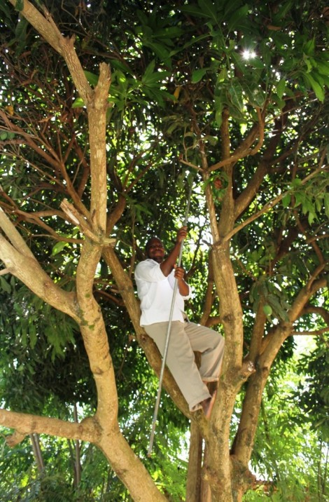 A member of the Watoto staff at the Gulu guest house climbs a mango tree to retrieve fruit.